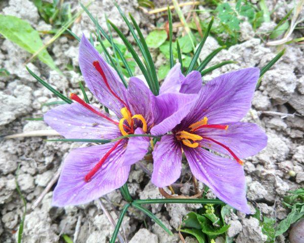 il fiore aperto dello zafferano