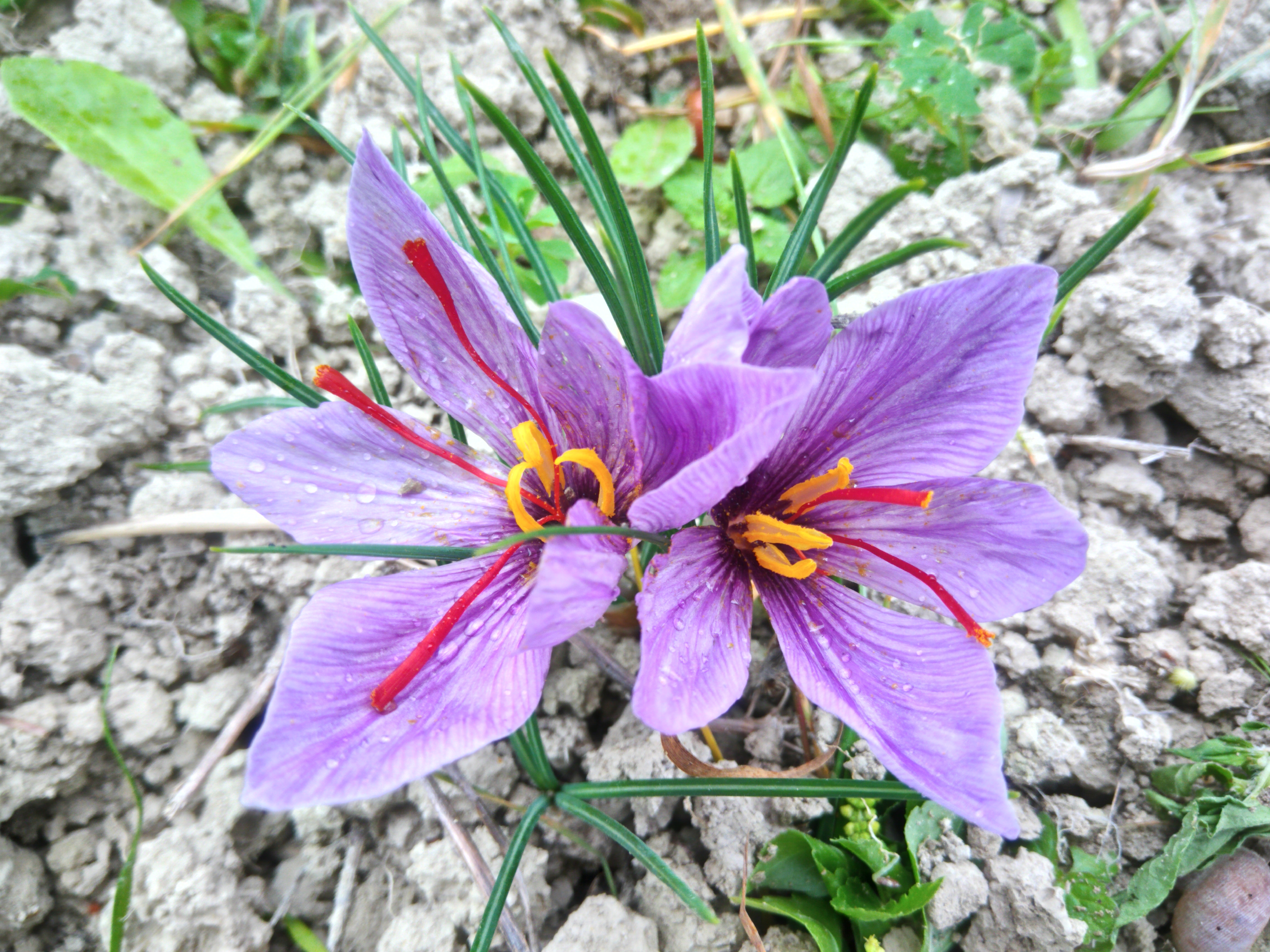 Safran en fleur