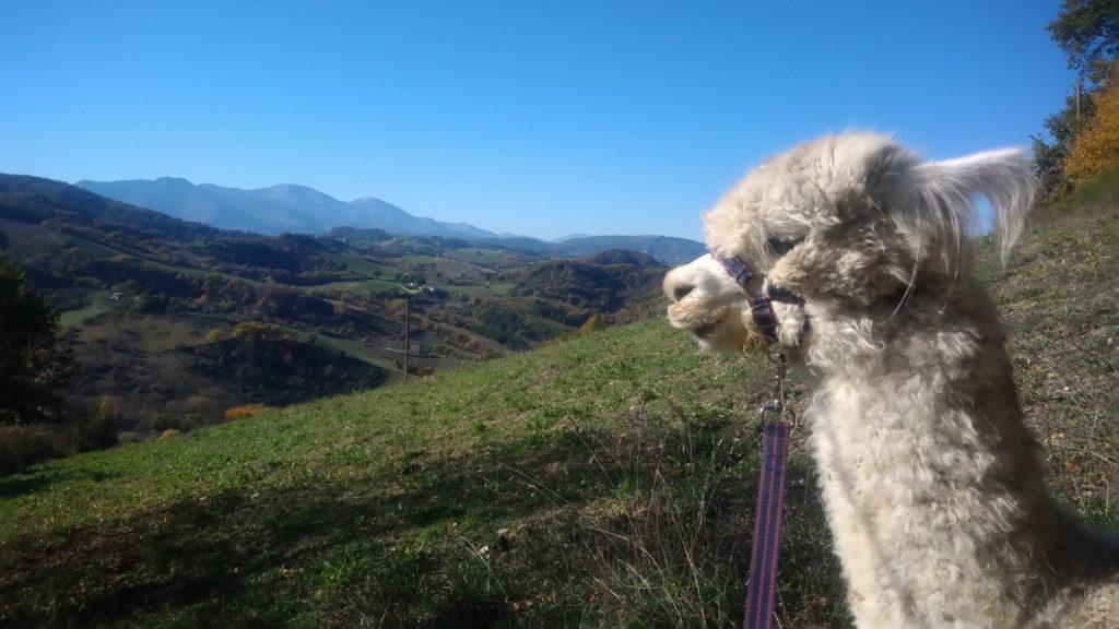 Escursione con Alpaca